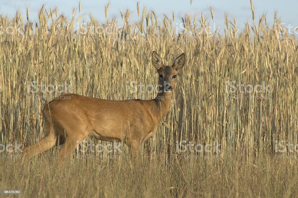 Roe Deer female royalty-free stock photo