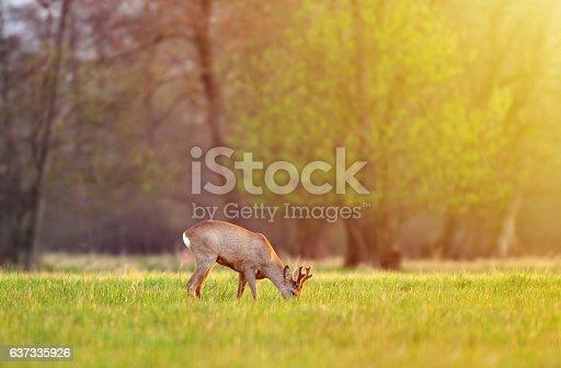Roe deer, grazing in a field and lit by warm sunlight