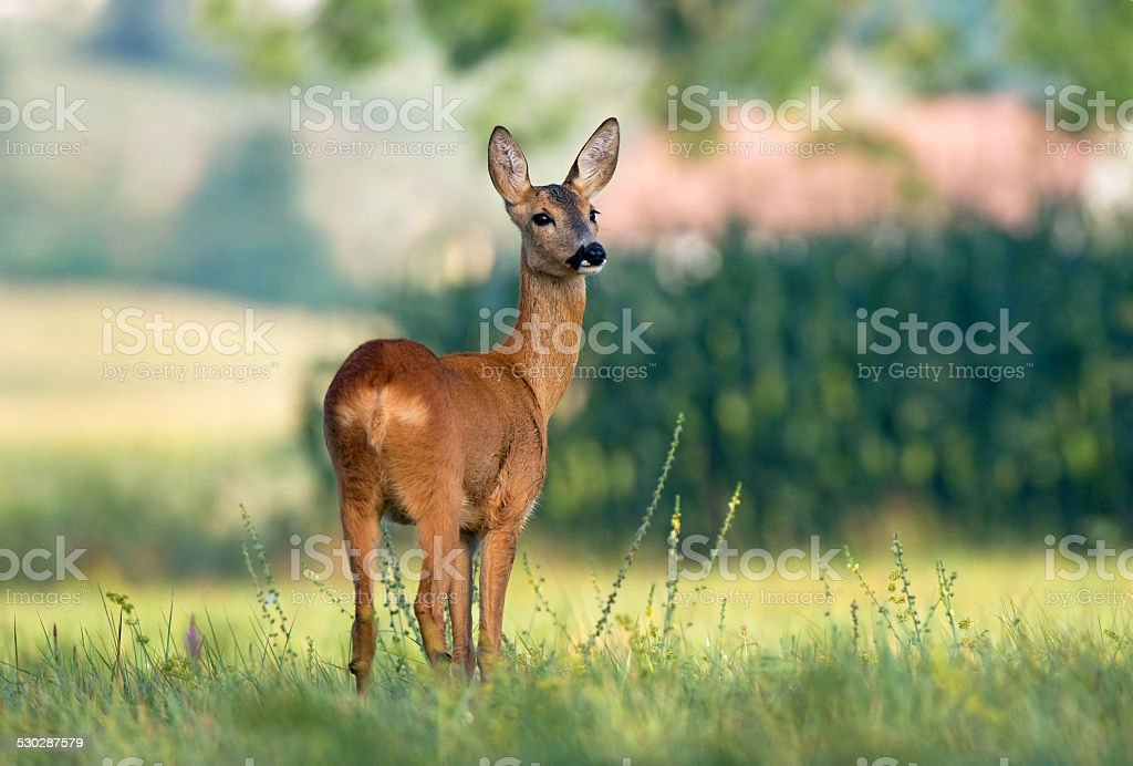 Roe deer in a field stock photo