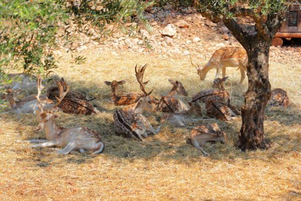 Roe deer in Askos Stone Park. Volimes, Zakynthos or Zante island, Ionian Sea, Greece. stock photo