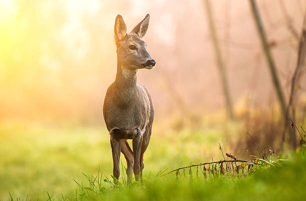 roe deer in early morning light - reh stock-fotos und bilder