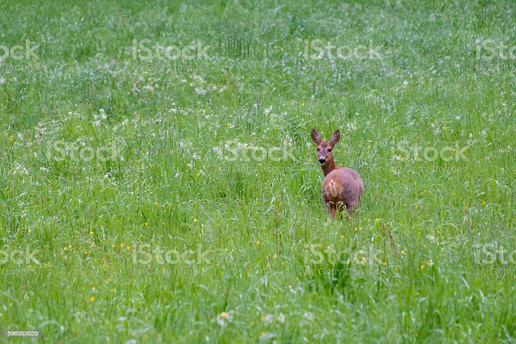 Roe deer in field royalty-free stock photo