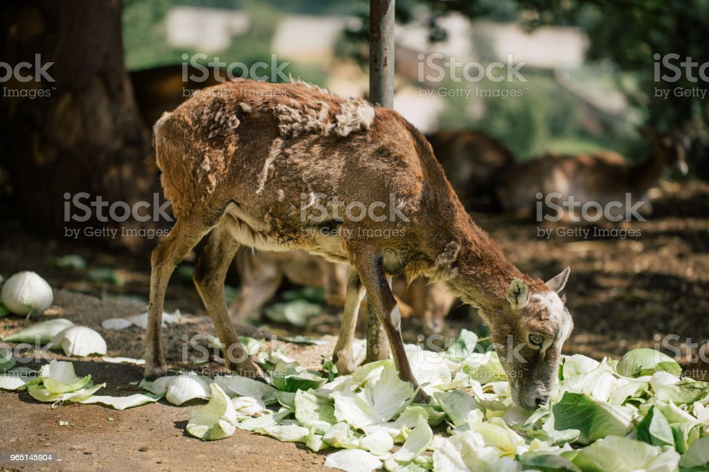 Roe deer in the Fasano apulia Italy zbiór zdjęć royalty-free