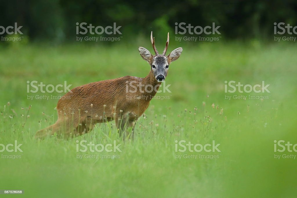 Roe deer male on the magical green grassland - Photo