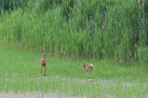 A roe deer mom and her young are jumping in a swamp by a pond stock photo