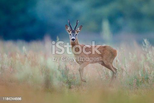 Roe Deer (Capreolus capreolus), Cracking old buck
