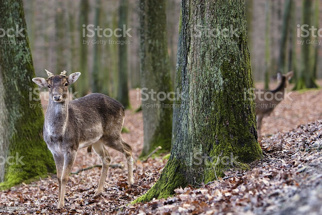 Roe Deer royalty-free stock photo