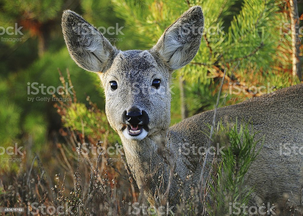 Roe deer royalty-free stock photo