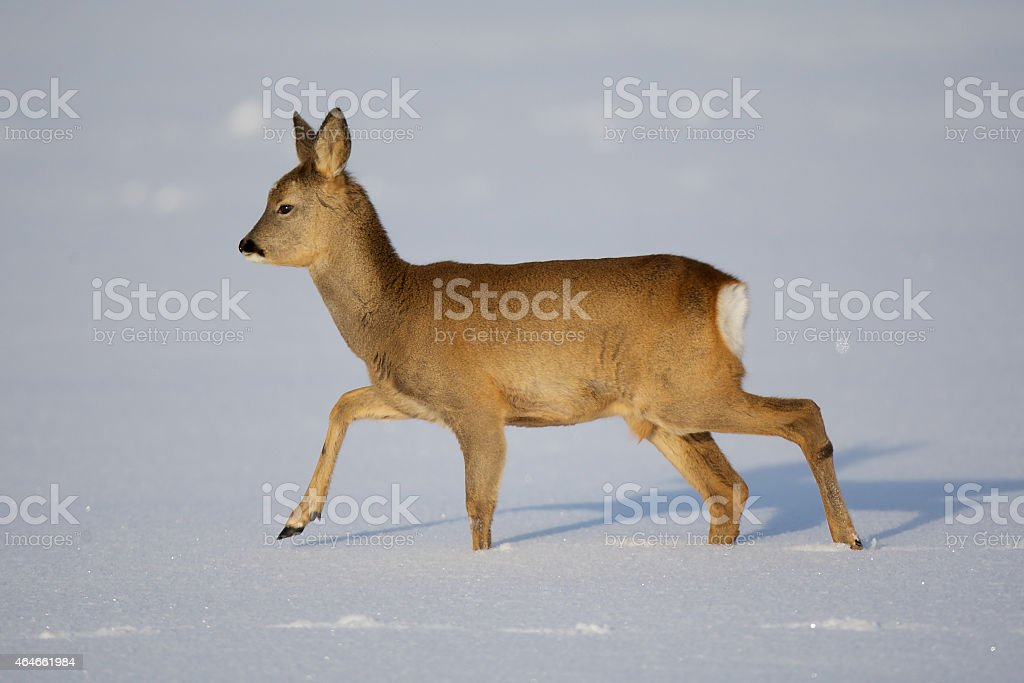 Roe deer stock photo