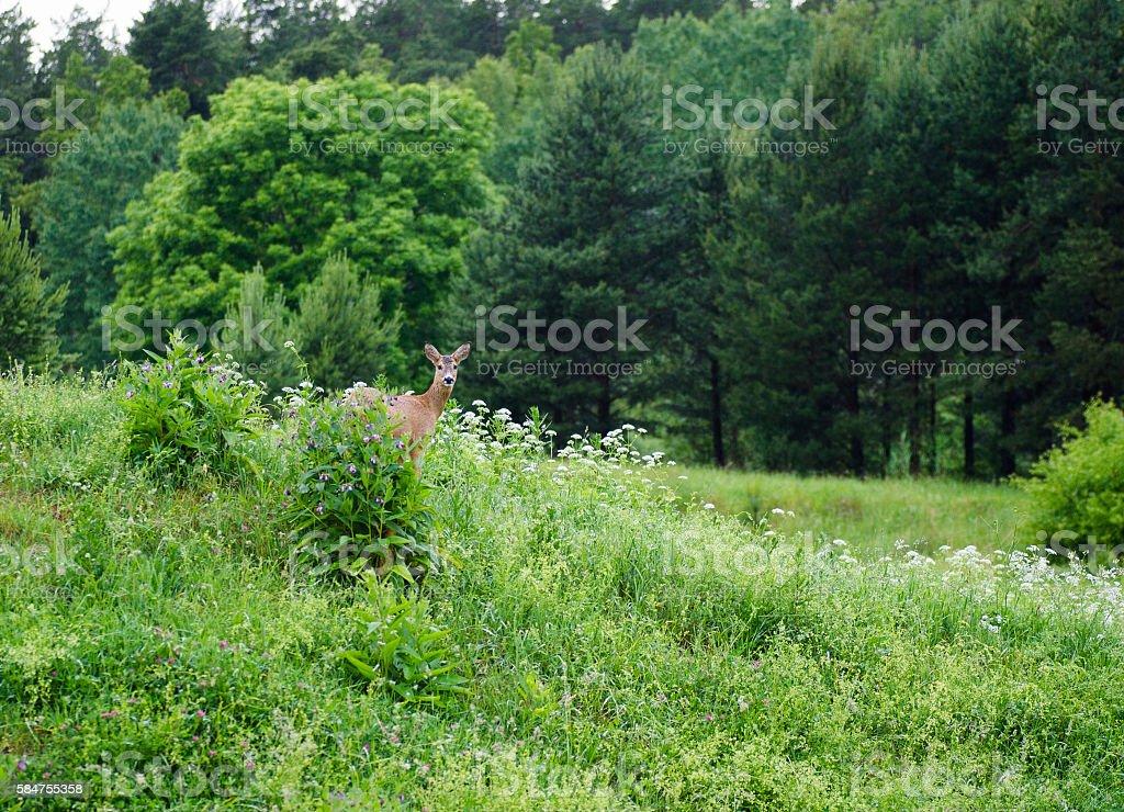 Roe Deer bildbanksfoto