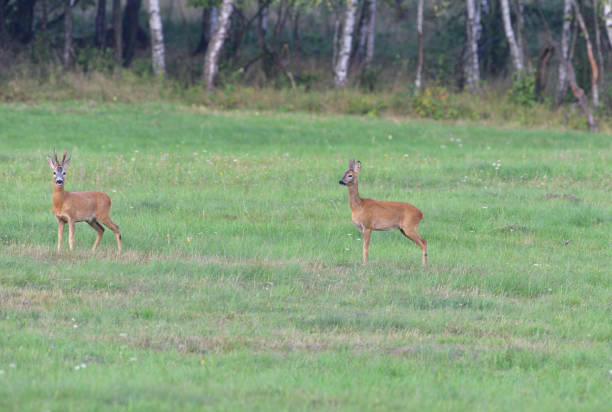 Roe deer running on the meadow in mating season stock photo