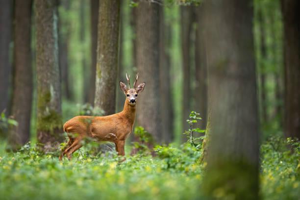 rehe unter den bäumen gesichtet und gelbe blumen - reh stock-fotos und bilder