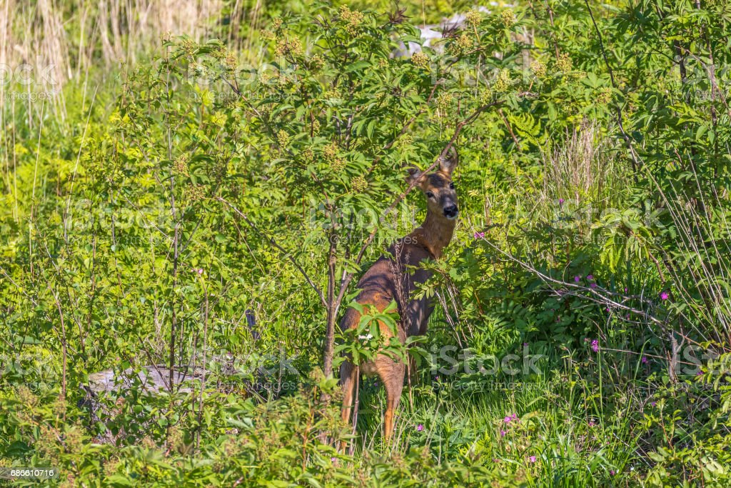 Roe deer standing by the bushes on a clearcut and take a look at the camera royalty-free stock photo