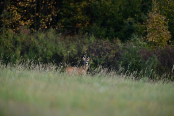 Roe deer walking on the meadow with green grass stock photo