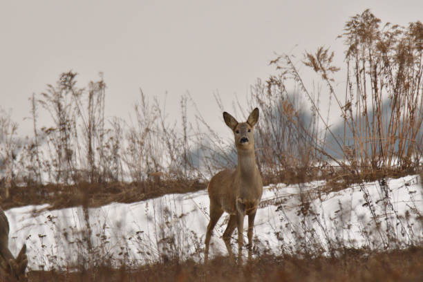 Roe deer watching on the meadow in the winter stock photo