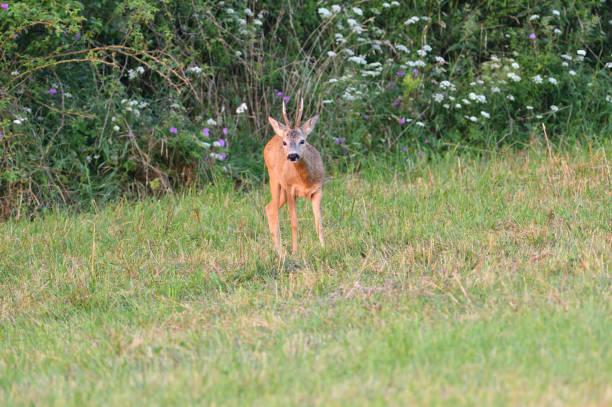 Roe deer with antler grazing grass in meadow stock photo