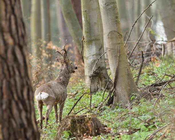 Roe deer with antler walking and grazing grass inside the forest stock photo