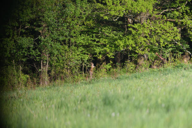 Roe deer with antlers in growth comes from dense bushes to graze in spring stock photo