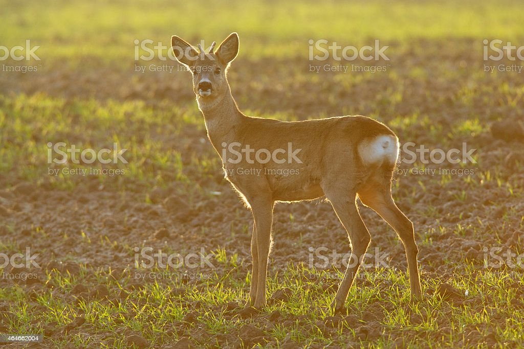 Roe deer with antlers stock photo