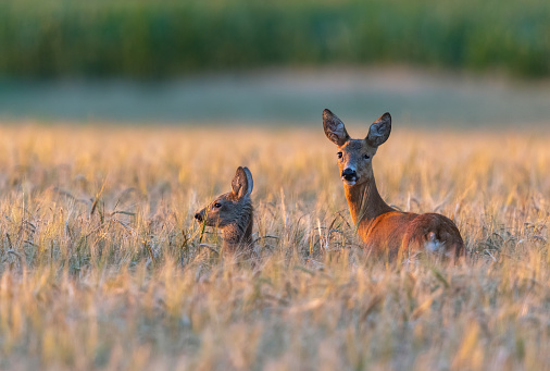 Female roe deer (Capreolus capreolus) with fawn standing in a cereal field in the evening sun.