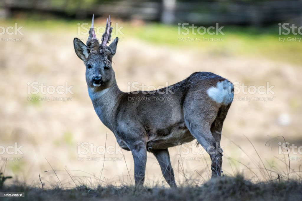 Roe deer with hairy antlers royalty-free stock photo