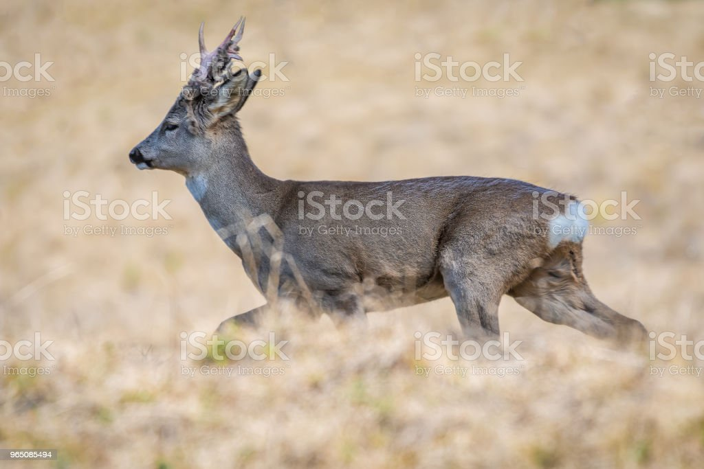 Roe deer with hairy antlers running royalty-free stock photo