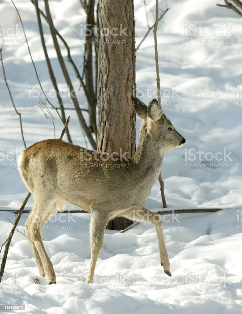 Roe. Russian nature stock photo