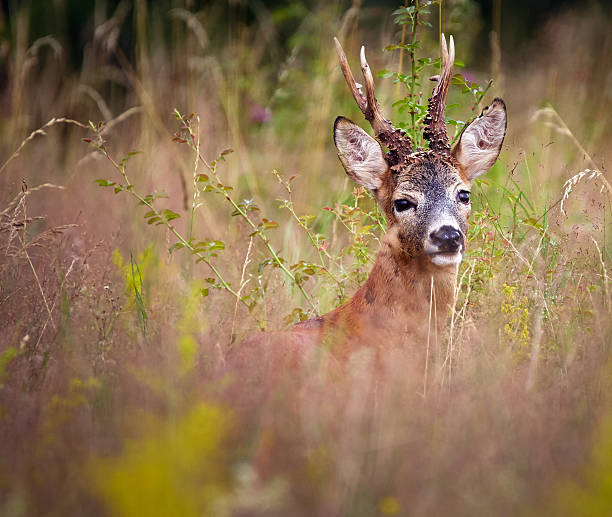 roebuck in a grass field - reh stock-fotos und bilder