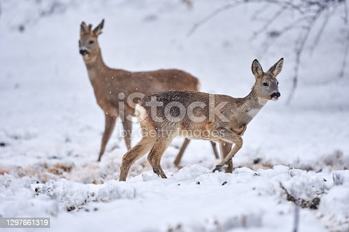 Roebuck in the snow searching for food