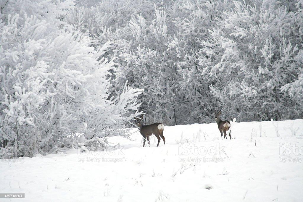 Roebucks royalty-free stock photo