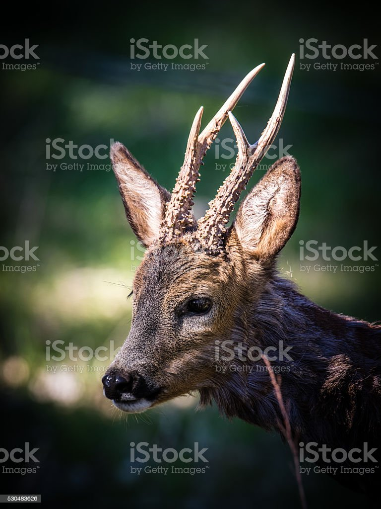 Roebuck's Profile stock photo