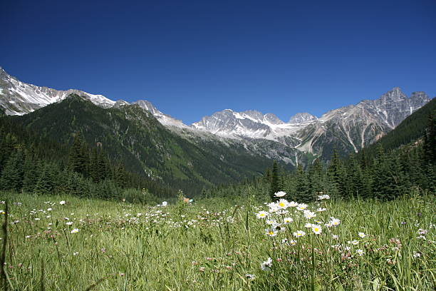 rogers pass - focus on flowers - british columbia glacier national park stock pictures, royalty-free photos & images