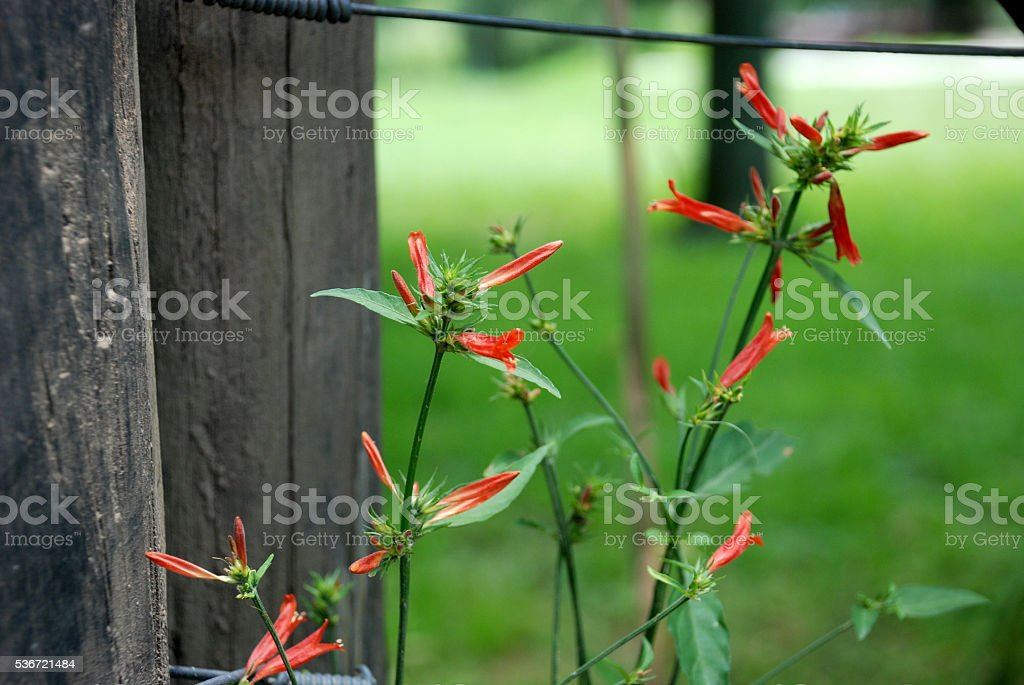 Rojo silvestre stock photo