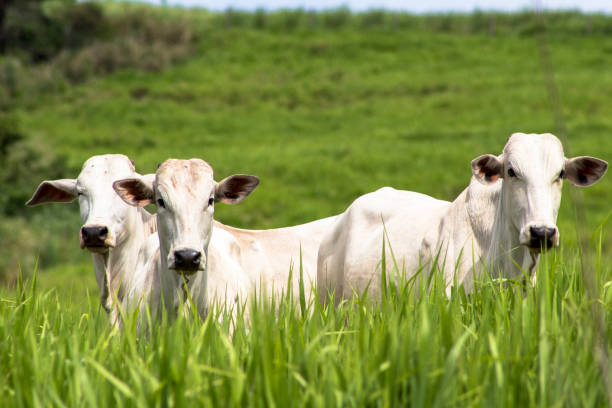 Rolandia, PR, Brazil, 09/01/2015. Herd of Nellore cattle loose in a pasture in the municipality of Rolândia, northern Paraná State. stock photo