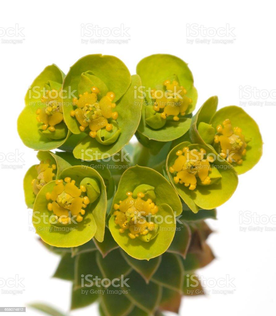 Roll Spurge; Myrtle leaved; Euphorbia; myrsinites royalty-free stock photo