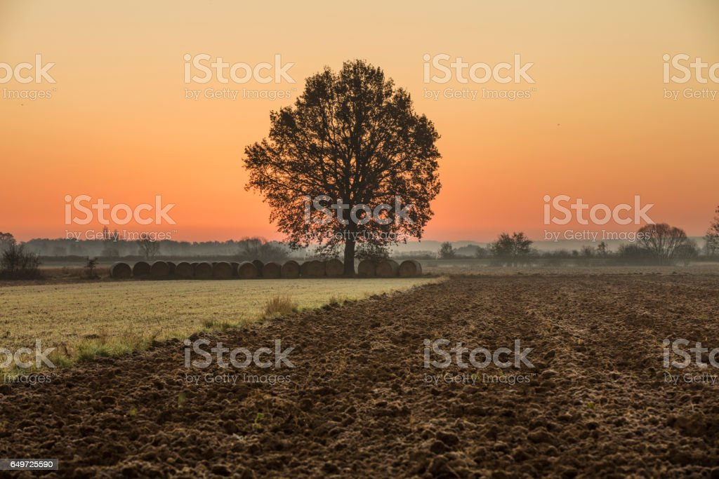 Rolled hay bales and tree on farm during sunset stock photo