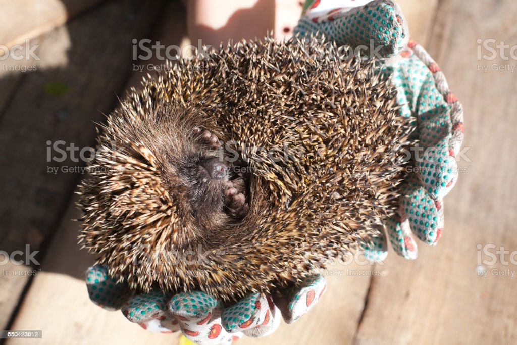 rolled hedgehog stock photo