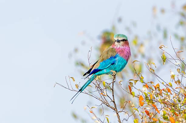 Roller Bird Porträt – Foto