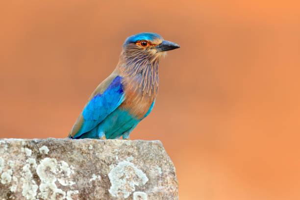Roller from Sri Lanka, Asia. Nice colour light blue bird Indian Roller sitting on the stone  with orange background. Birdwatching in Asia. Beautiful colour bird in the nature habitat. Detail of bird. stock photo