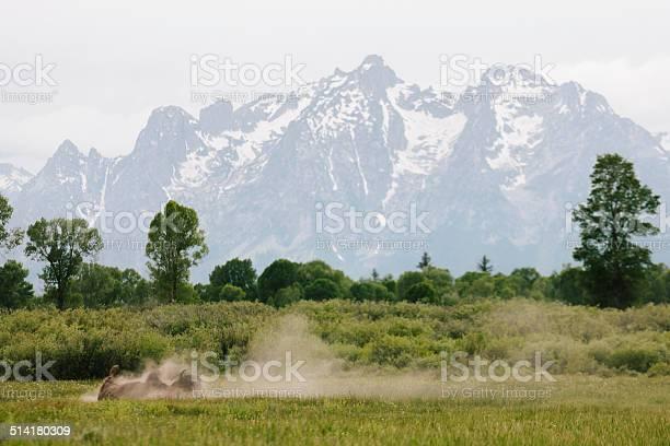 Photo of Rolling bison, Teton mountains
