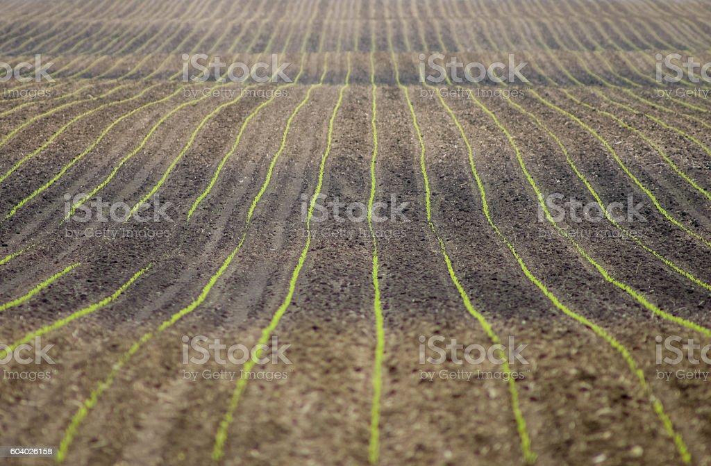 Rolling cornfield stock photo