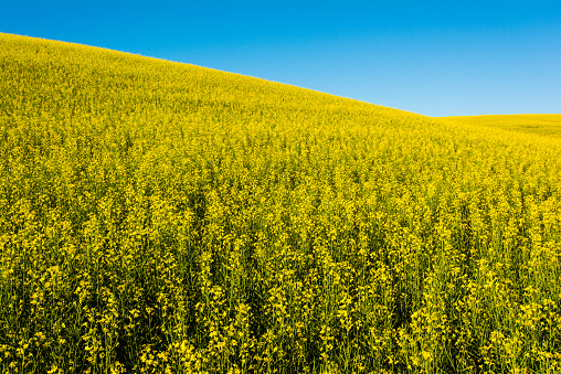 Rolling Field Of Rapeseed Stock Photo - Download Image Now
