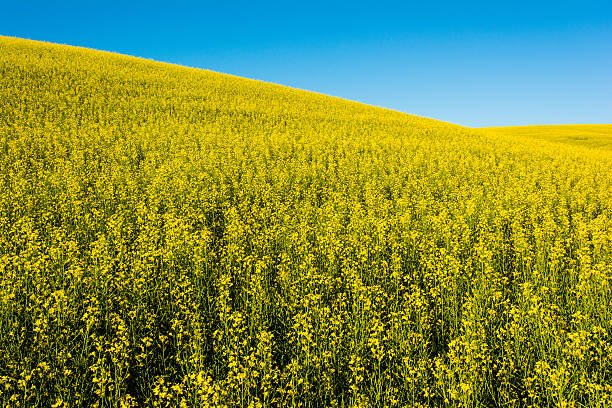 Rolling Field of Rapeseed stock photo