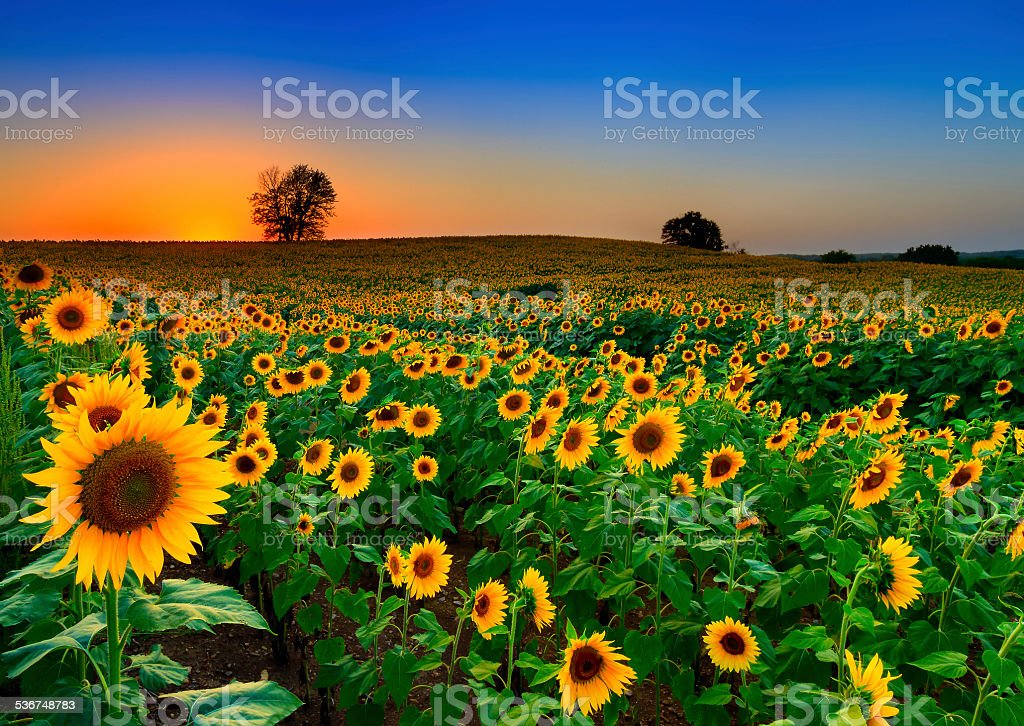 Rolling Field of Sunflowers stock photo