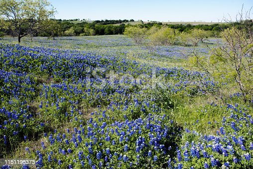 Bluebonnets fill a rolling landscape in the early morning sun.