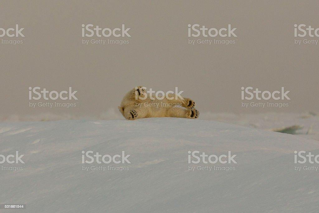 Rolling Polarbear stock photo