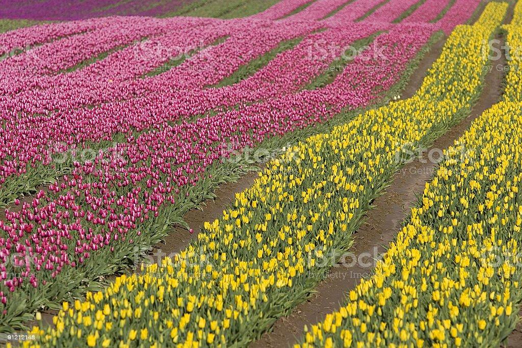 Rolling Tulip Fields stock photo