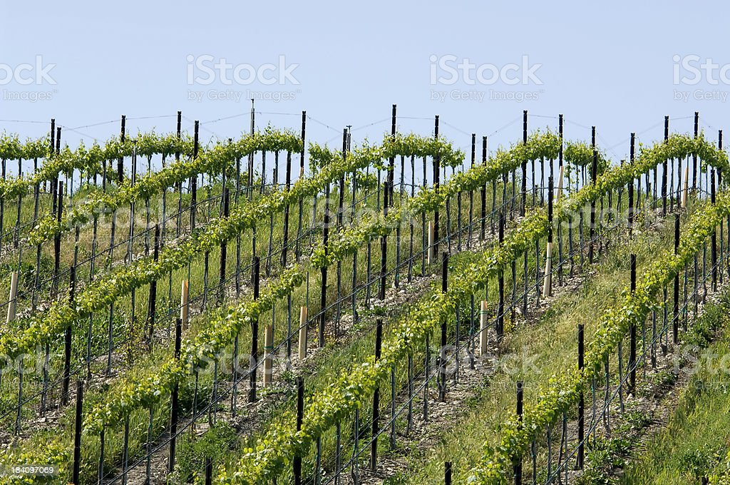 Rolling Vines royalty-free stock photo