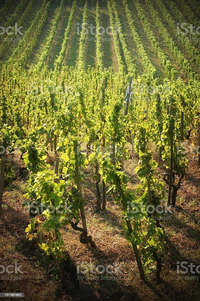 Rolling Vineyard stock photo
