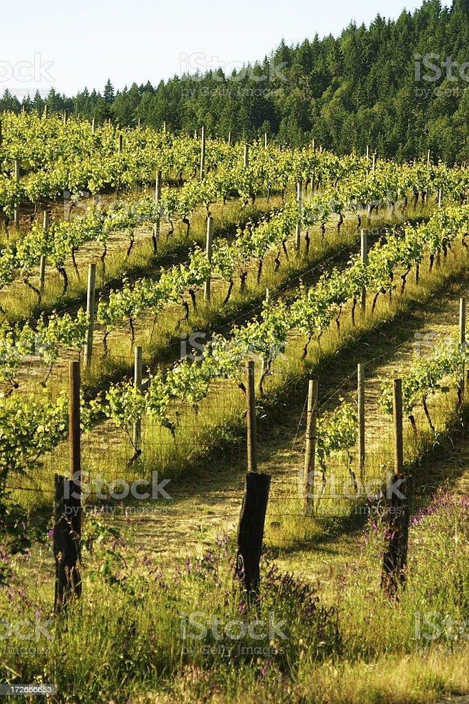 Rolling Vineyard royalty-free stock photo